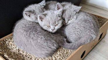 Βρετανικά γατάκια Blue Shorthair προς πώλησηΧαριτωμένα γατάκια British