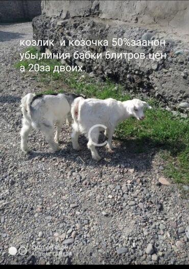 Продаю | Коза (самка), Козёл (самец), Козлёнок | Нубийская, Битал | Для разведения, Для молока | Племенные