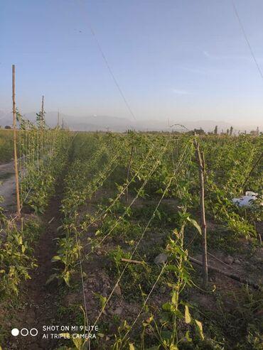 Семена и уличные растения - Сокулук: Продаю жондо. Вкусный, сочный, свежий