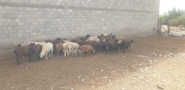 сколько стоит беговая дорожка бу in Кыргызстан | БЕГОВЫЕ ДОРОЖКИ: Продаю | Овца (самка), Ягненок, Баран (самец) | Котные, Ярка, Ягнившаяся