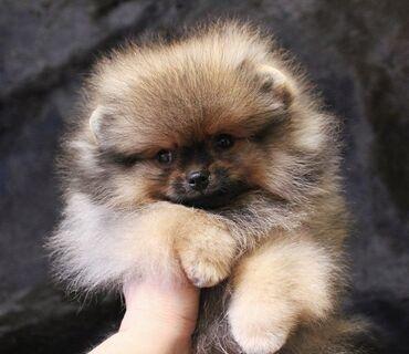 Собаки - Кыргызстан: Микро шпиц, шпицы, шпиц в померанском типе, короткая мордочка, набитая
