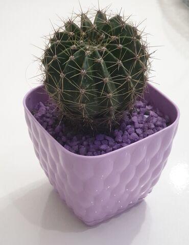 Otaq bitkiləri - Azərbaycan: Kaktus shekilde gorunduyu dibcekde dekor daslarla - 4 manat28 Maya