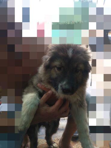Срочно продам щенка кавказской овчарки, кобель 4 месяца. В живую