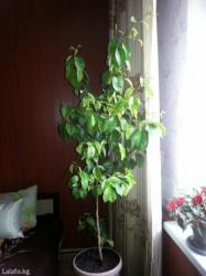 Продаются Апельсиновые деревья,можно для офиса и дома,высота 2м, 1м. в Каракол