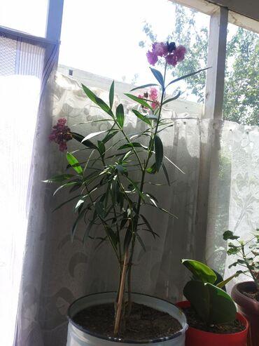 Комнатные растения в Кок-Ой: