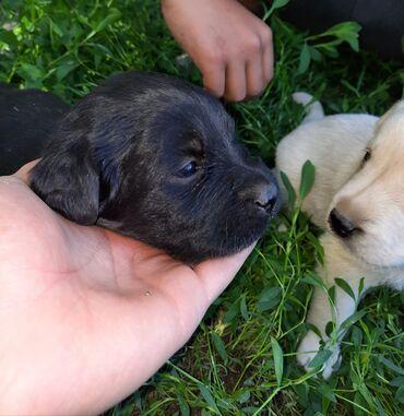 Животные - Новопавловка: Срочно продаются шикарные чистокровные щенки лабрадора ретривер