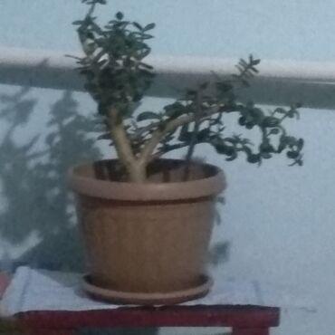 52 объявлений: Денежное дерево