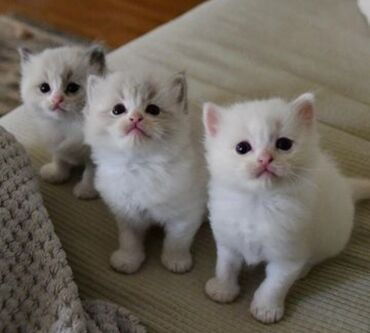 Ragdoll kittens Both genders available, vaccinated and wormed, potty