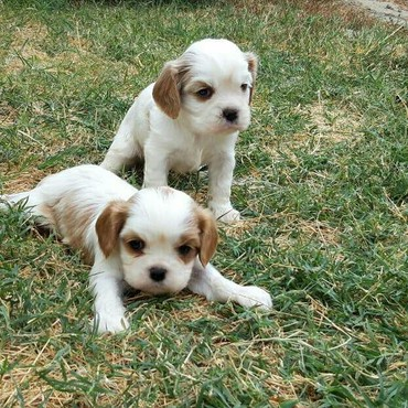 Cavalier King Charles σε Athens