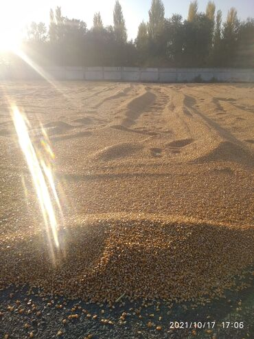 82 объявлений   ЖИВОТНЫЕ: Кукуруза жугору рушенный сухой село предтеченька 30-35тонн