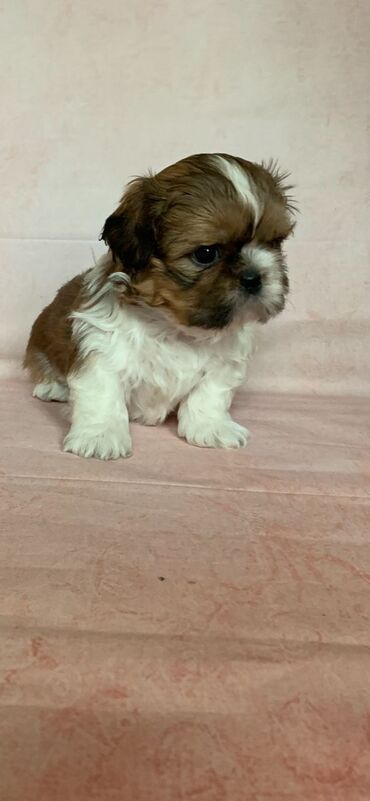 2 Shih Tzu Puppies for Sale Shih Tzu Puppies for sale. These adorable