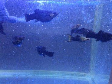 рыбы в Кыргызстан: Аквариумные рыбки! моллинезии чёрное-золотые, чёрные. ЖИВОРОДЯЩИЕ РЫБК