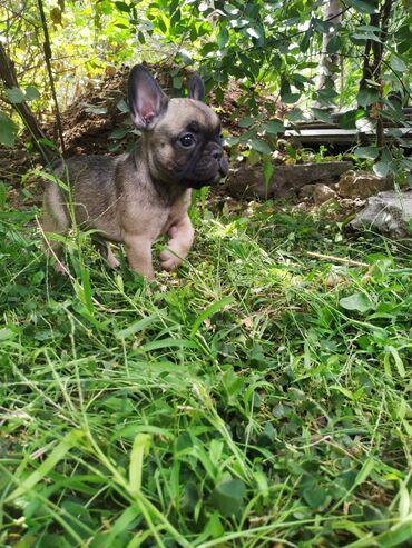 3772 объявлений: Французский бульдог щенки.Родились 13июля, проглистованы, сделана 1я