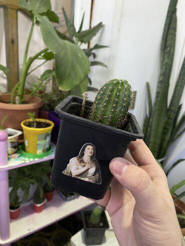 Otaq bitkiləri Sumqayıtda: Kaktus biri 1 azn