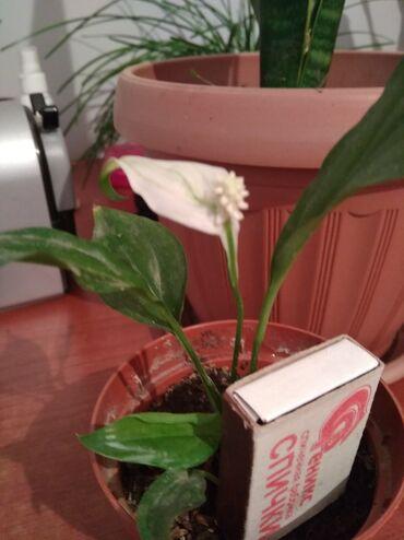 Комнатные растения в Кок-Ой: Женское счастье