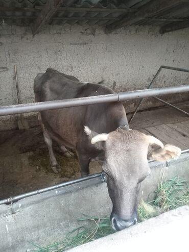 продам теленка в Кыргызстан: Продаю карову. Молоко сейчас 16 литр даёт. С теленком вместе продаётся