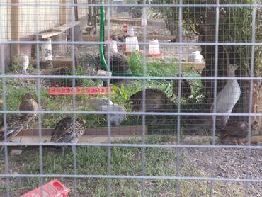 Животные - Нижний Норус: Продаются суточные и 2х недельные фазанята. Породы Румынский