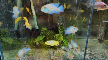 Нанокары. аквариумные рыбки в Бишкек - фото 3