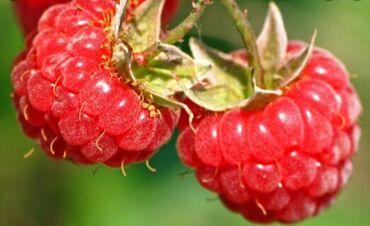 кето гуру цена бишкек в Кыргызстан: Малина (Горно-Маевская)  Малина — ценная ягода, в которой содержатся в