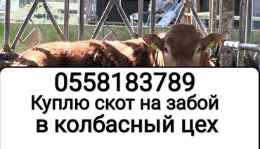 животный-с в Кыргызстан: Куплю скот на забой подходящий в Колбасный цехБез посредников. дорого