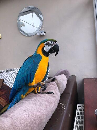 Μπλε και χρυσό μακώΤο μπλε και το χρυσό Macaw λατρεύει να χορεύει και