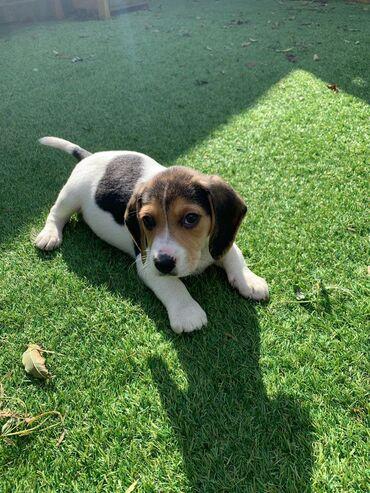 Για σκύλους - Αθήνα: Κουτάβια Beagle για υιοθεσίαΤα κουτάβια Beagle για υιοθεσία ανδρών και