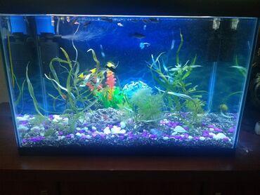 guppi baliqlari - Azərbaycan: Akvaryum balıqları ilə birıikdə!!!Hava filteri ağ və göy işıqı təbii