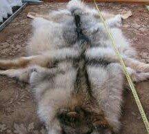 продаю шкуру волка в Бишкек