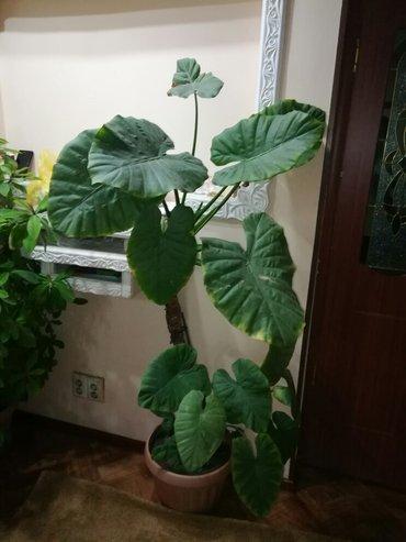 продаю комнатные цветы в ассортименте для дома,офисов,банков в Бишкек