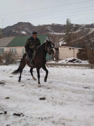 Срочно продаю жорго полкровка 4 года в Бишкек