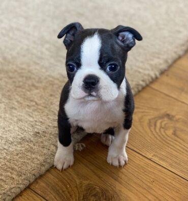 Kc Reg Beautiful Boston Terriers Διατίθεται όμορφο αγόρι και λευκό αγό
