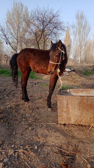 Животные - Кыргызстан: Продаю | Жеребец