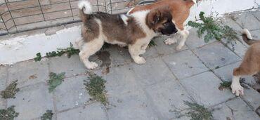 dog - Azərbaycan: Safqan Volkadav küçükləri.2 aylıq iri sümüklü heyvanlardır.Ata 90 sm