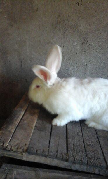 Крольчиха Белый великан возраст 1,5 года,или обмен на Калифорнию