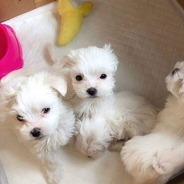 Very sweet and cute maltese puppies available for rehoming 12 weeks