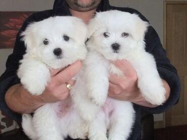 | Zlatibor: Malteški psi i štenad na prodajuJedno štene iz KC-a prijavljeno je