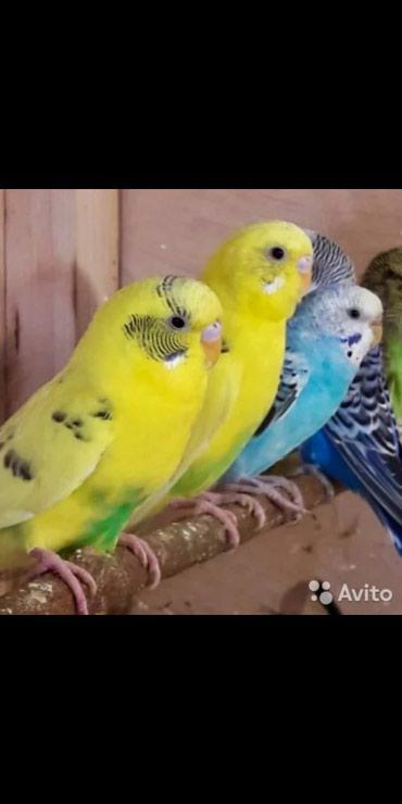 Продаются попугаи! в Бишкек