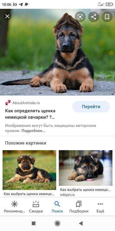 Собаки - Кыргызстан: Куплю немецкую овчарку коричневого мальчика!
