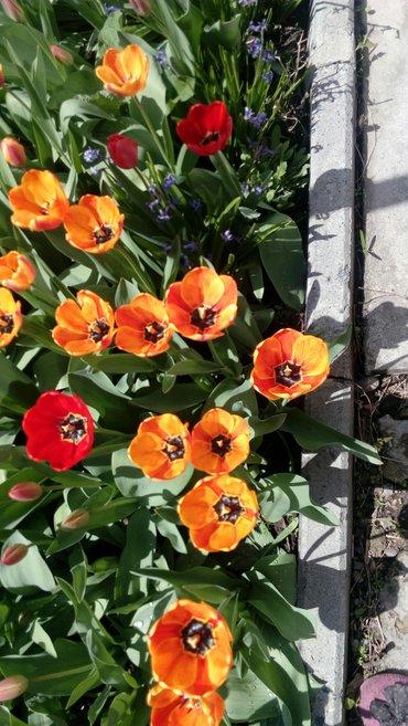 головка тюльпана 50 сом в Бишкек