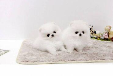 Κουτάβια από ΠομερανίαΧαριτωμένα κουτάβια Pomeranian για