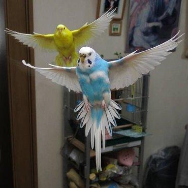 Попугаи рецессивного окраса 🦜 Птица витаминизированная 🥬