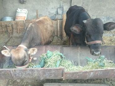 Продаю бычков в с.Беловодск. Большой-65000сом, Маленький-45000сом тел