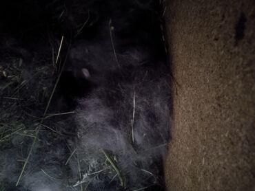 Животные - Тамчы: Продаются кролики породы великан 6месяцев с крольчатами оба прошу 3000