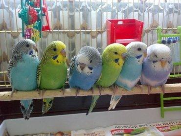 Попугайчики волнистые хорошо учатся говорить и приручаются к рукам. А