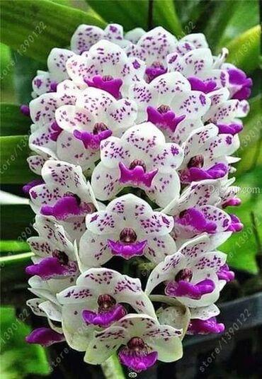 Semena   Srbija: █▬█ █ ▀█▀ *** EXTRA PONUDA *** Orhideja 100 semenke CENA:400din