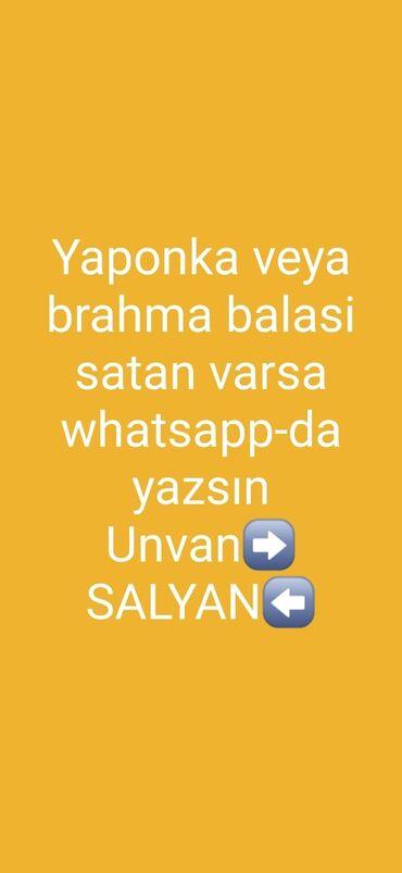 yaponka - Azərbaycan: Salyanda kimde yaponka(ozu veya balası) veya brahma satan varsa elaqe