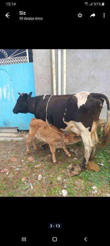 Животные - Остров Хазар: С/х животные