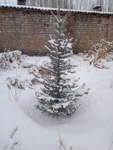 сибирский ель в Кыргызстан: Продаю ель оптом 70 шт 2500 сом