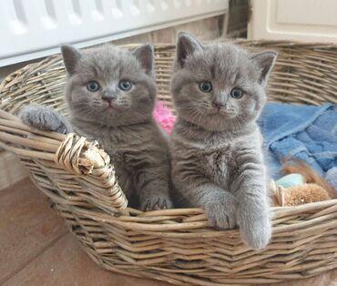 Προς πώληση αξιολάτρευτα βρετανικά γατάκια με κοντές τρίχες. Η μαμά