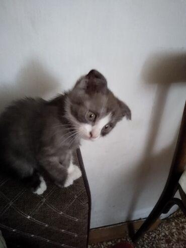 Животные - Мыкан: Продаю котёнка за 1000 сом. Веслоухий. Кушает сам. А в лоток ходит
